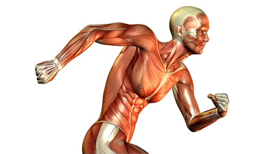 Muscular System Facts Of Human Body
