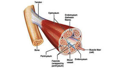 Muscular System Functions