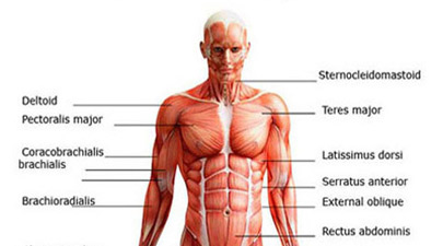 Parts Of Muscular System Of Human Beings